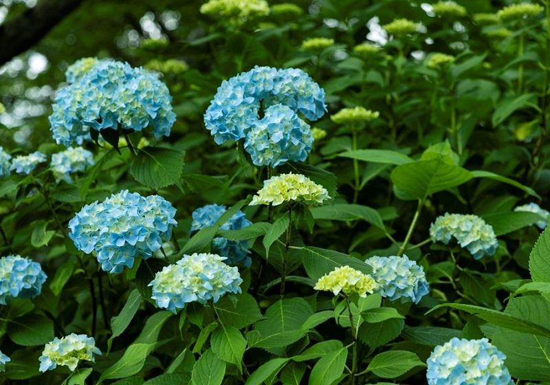 梅雨に咲く大阪の紫陽花
