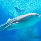 Whale Sharks. The largest fish in the sea