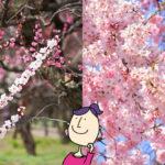 梅と桜の違い
