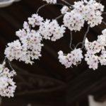 大阪の桜の花
