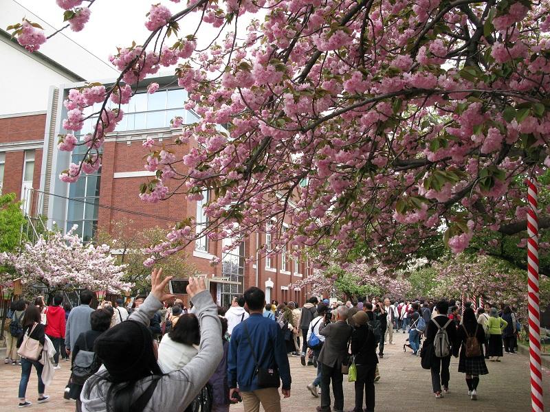 多くの人でにぎわう造幣局の桜の通り抜け