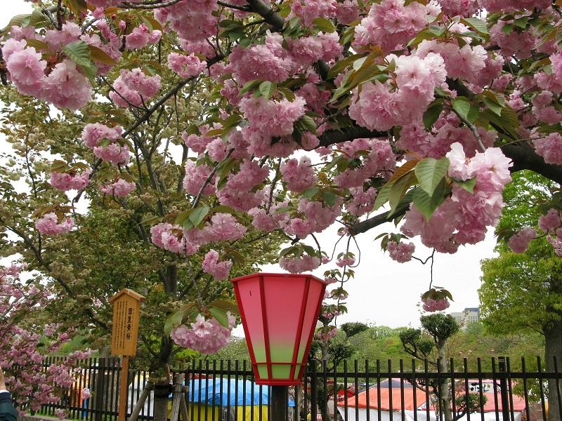 造幣局では珍しい桜を見ることもできる