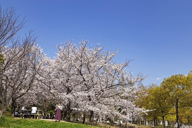 芝生と桜の調和が美しい花博記念公園鶴見緑地