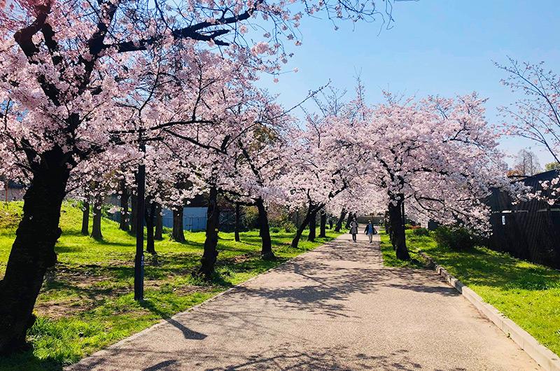大川沿いは桜のプロムナード