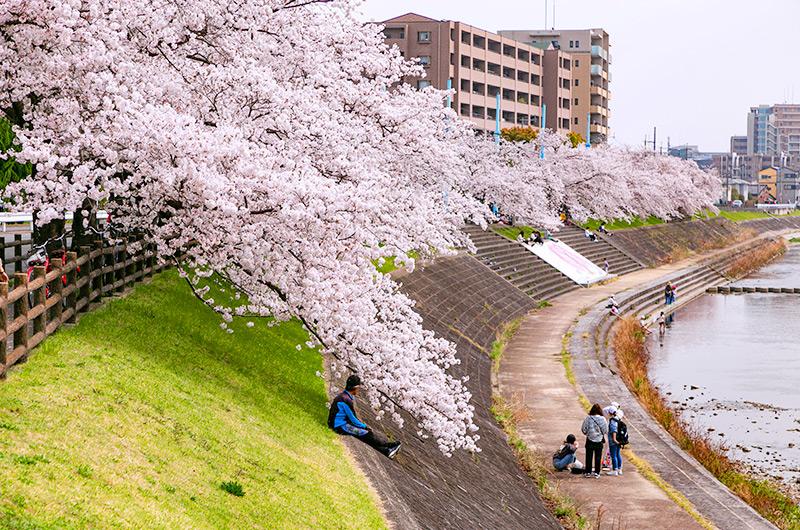 芥川はこいのぼりだけじゃくなく桜も美しい