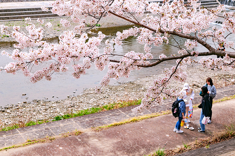 桜を見ながら芥川を散策