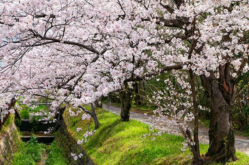 交野市の桜