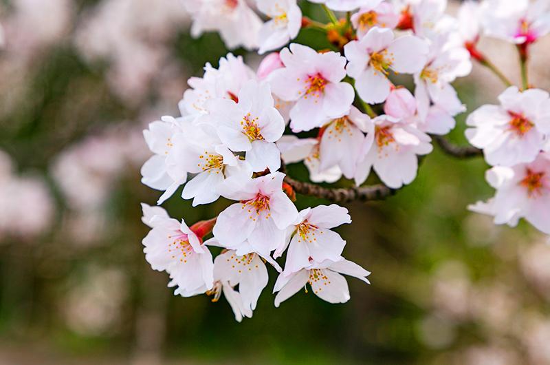 交野市で満開を迎えた桜