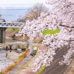 大阪高槻市にある芥川の桜