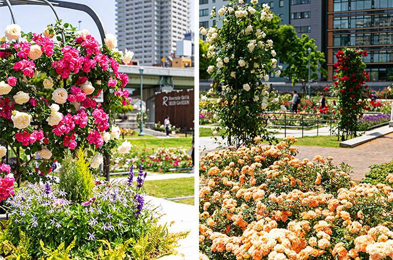 中之島公園の色とりどりのバラ園