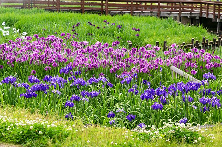 山田池公園の花ちょうぶ園のハナショウブ