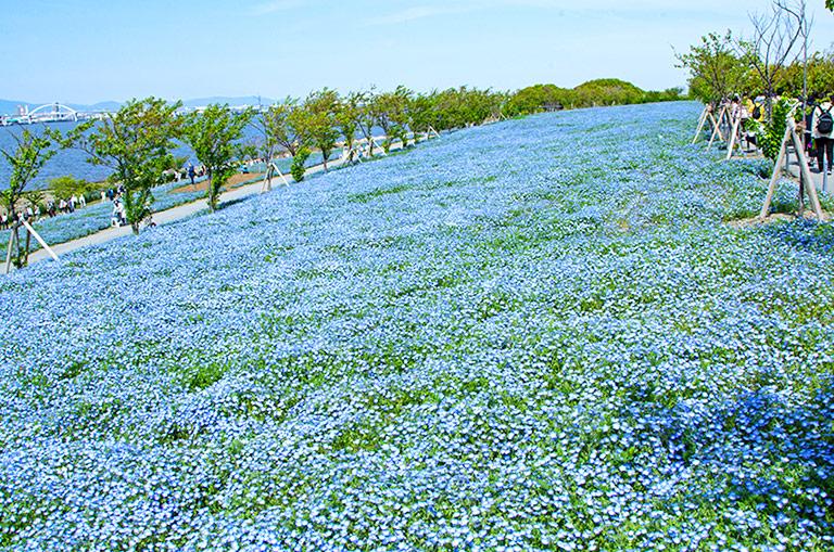 大阪まいしまシーサイドパークネモフィラ祭りのネモフィラの絨毯とキラキラ輝く舞洲の海