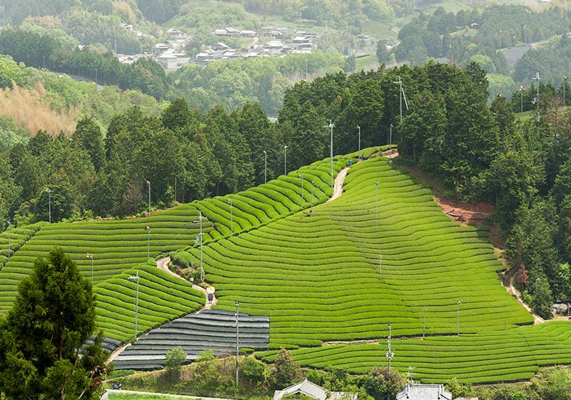 京都府の和束町の段々畑