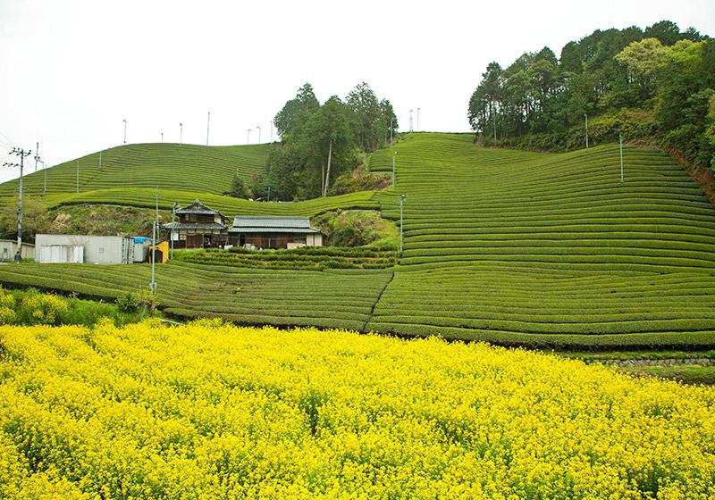 京都府の和束町の茶畑と菜の花