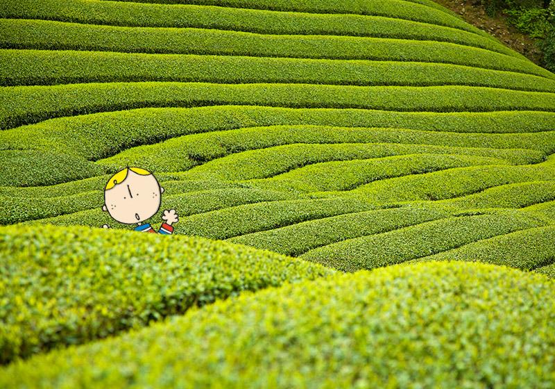 京都府の和束町の茶畑